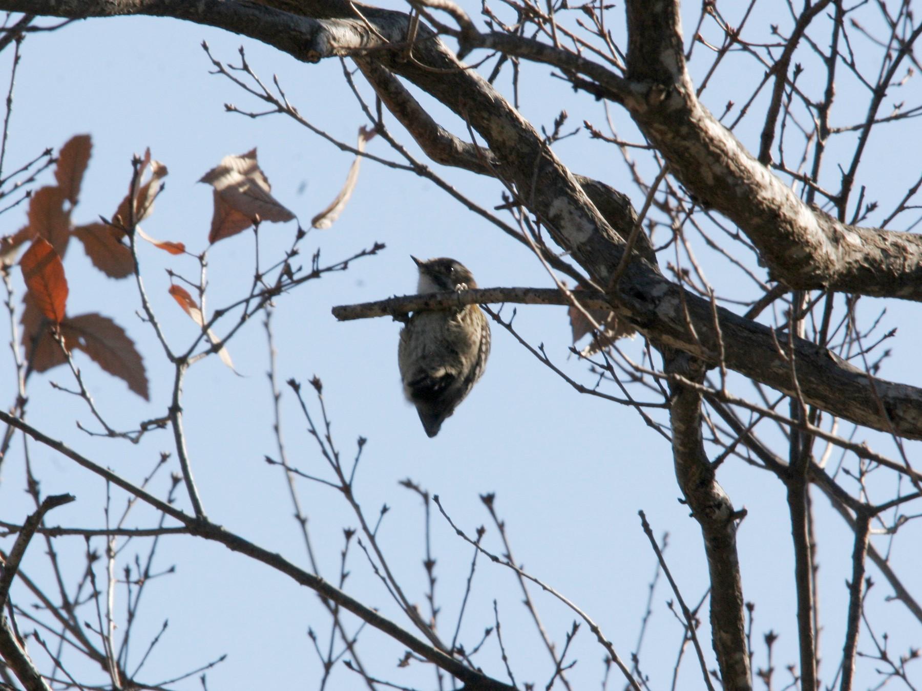 Pygmy Woodpecker - Yushi Oguchi