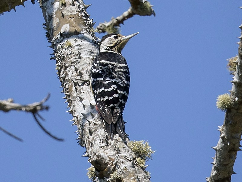 Stripe-breasted Woodpecker - Matthew Kwan