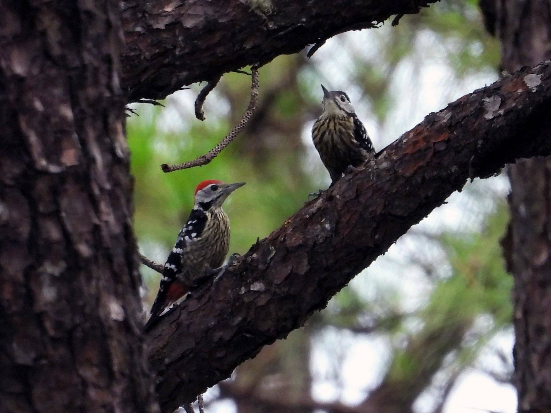 Stripe-breasted Woodpecker - Ben Weil