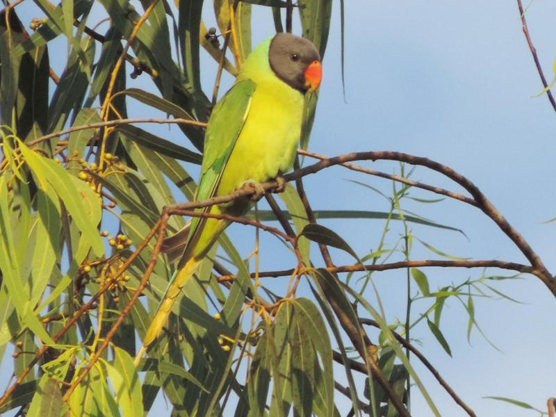 Gray-headed Parakeet - Win Nwe