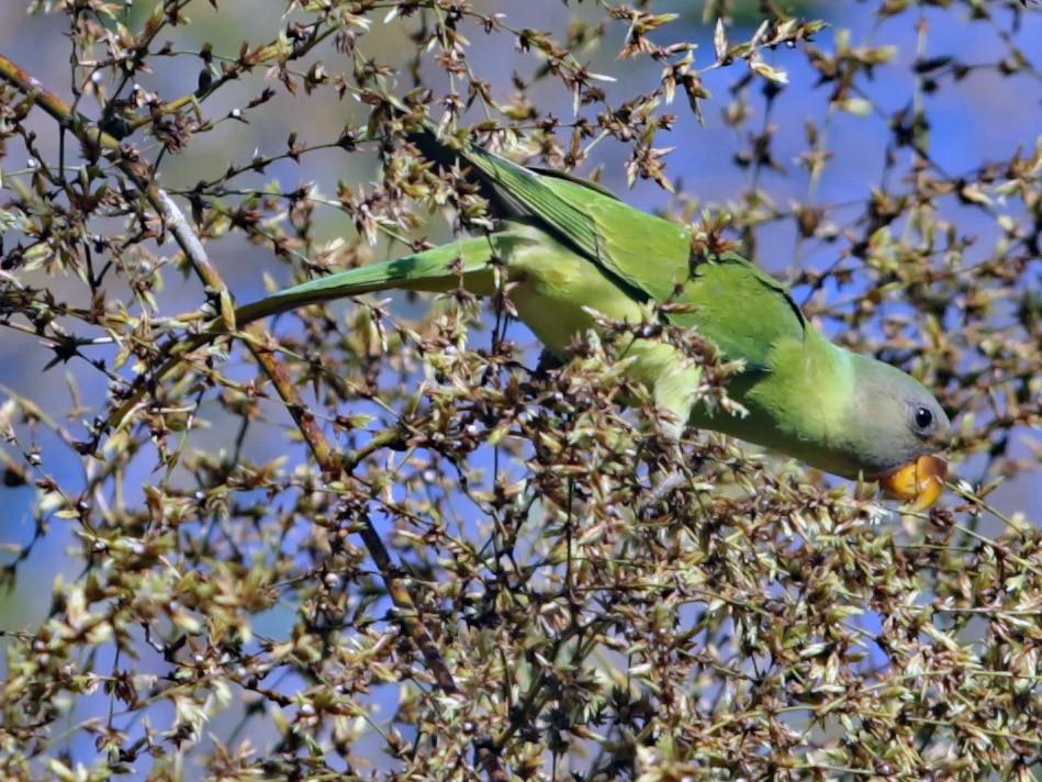 Gray-headed Parakeet - ian dugdale