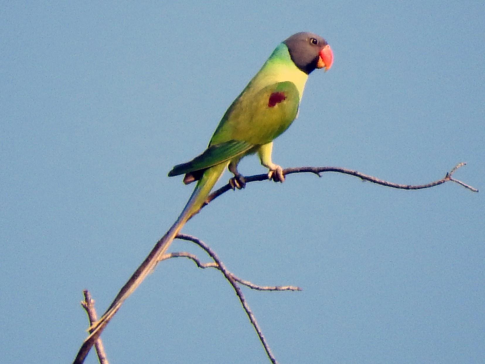 Gray-headed Parakeet - Cole Gaerber