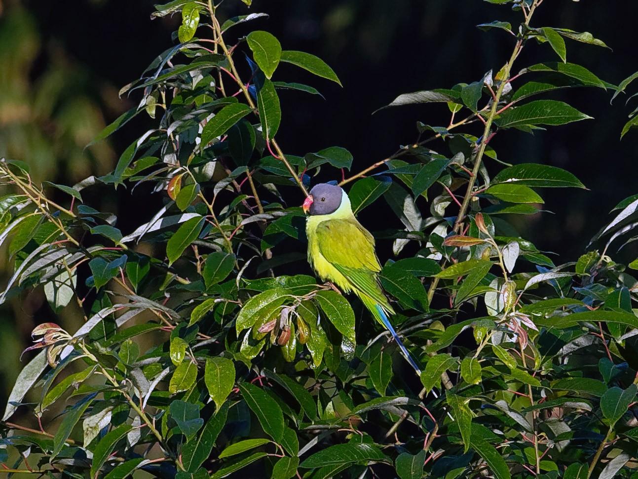 Gray-headed Parakeet - Vincent Wang