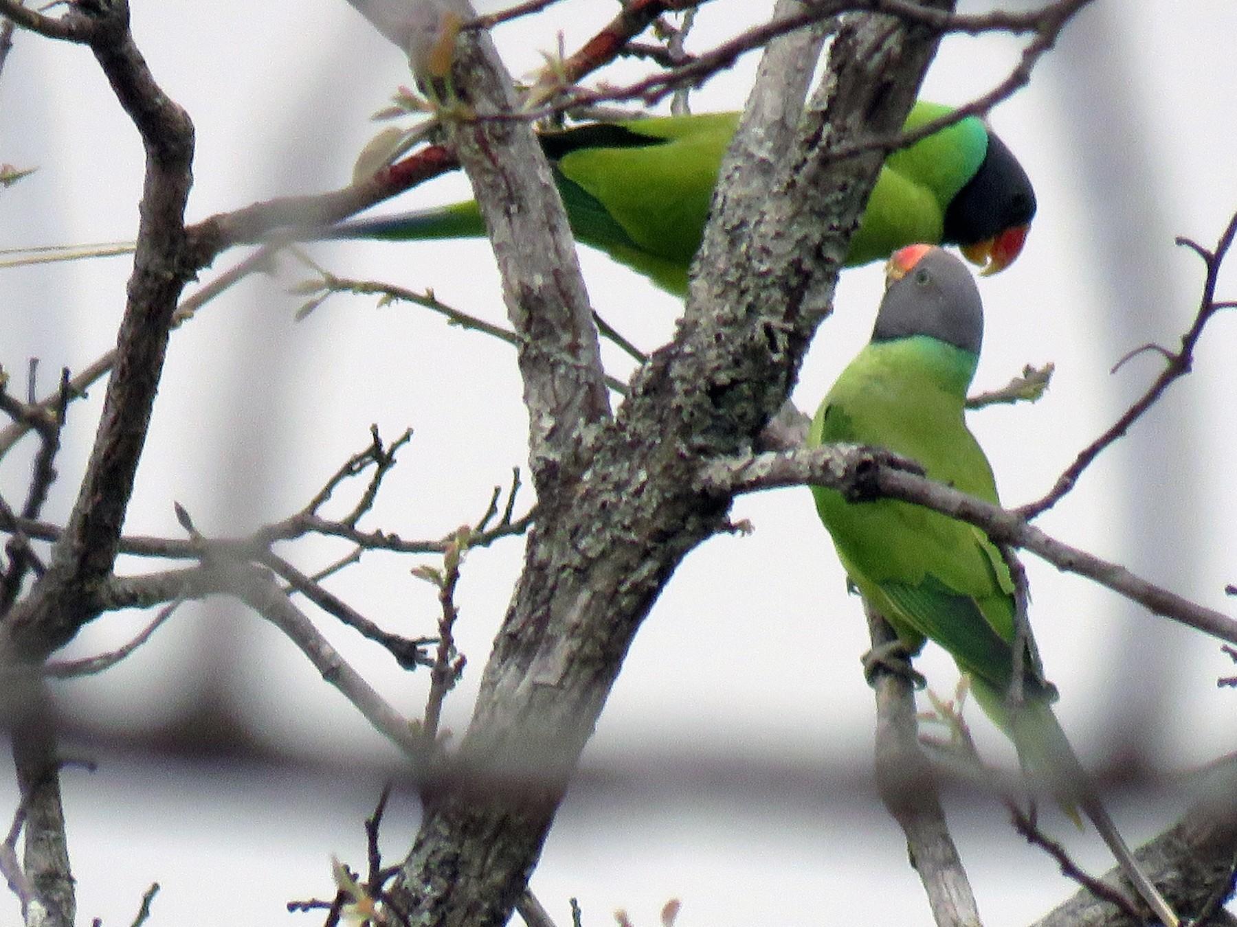 Gray-headed Parakeet - Thomas Brooks