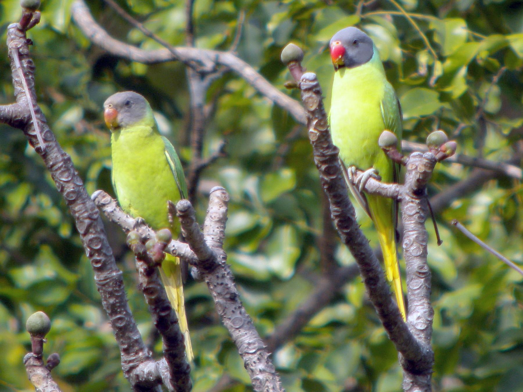 Gray-headed Parakeet - Nigel Voaden