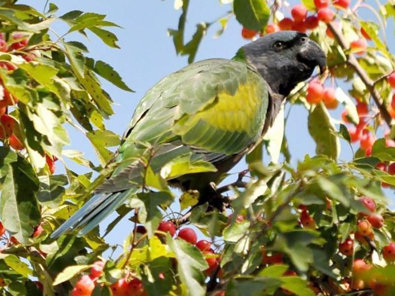 Derbyan Parakeet - Steve Bale