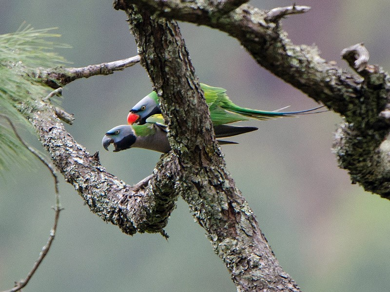 Derbyan Parakeet - Saurabh Sawant