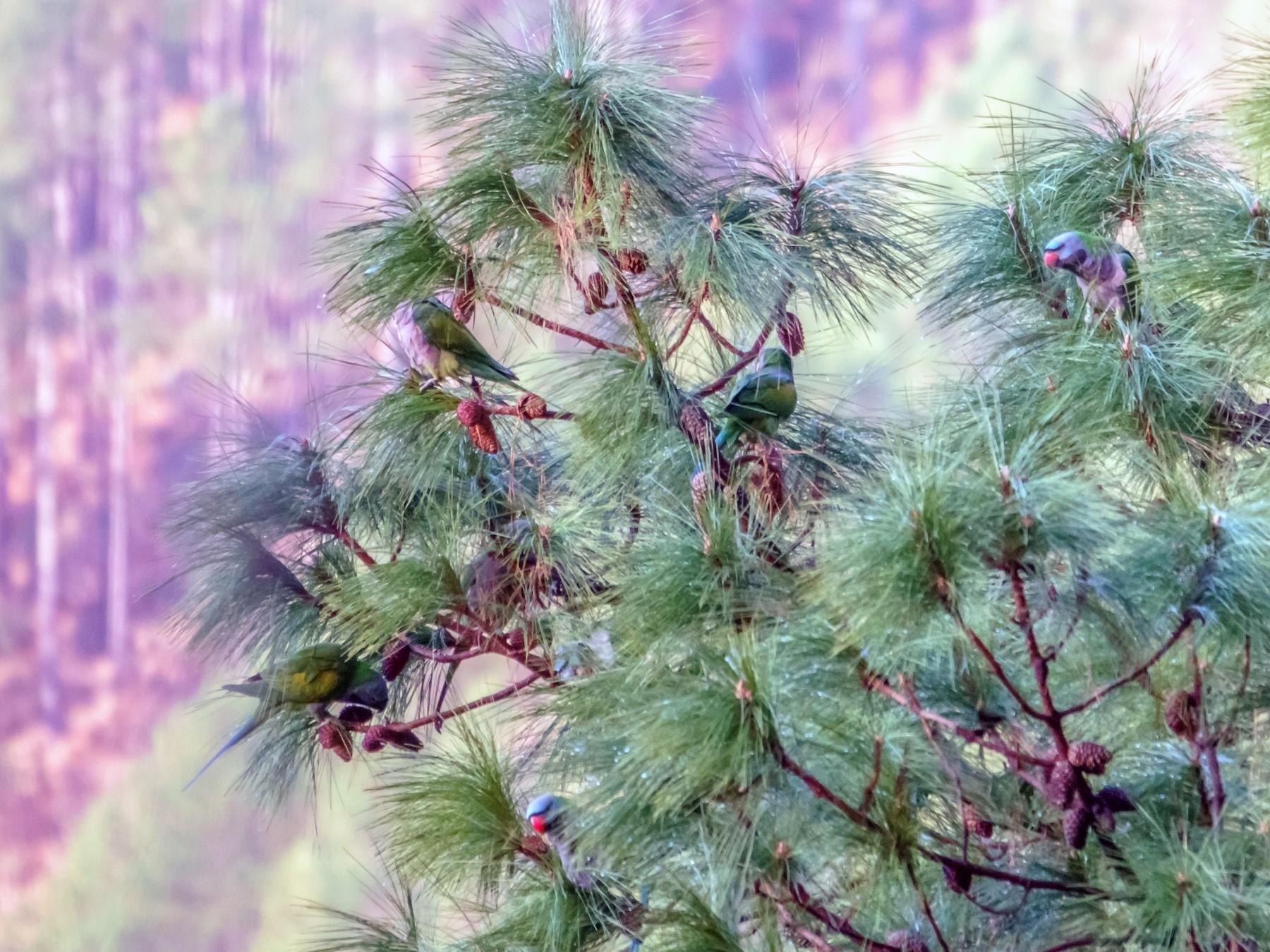Derbyan Parakeet - Balaji P B