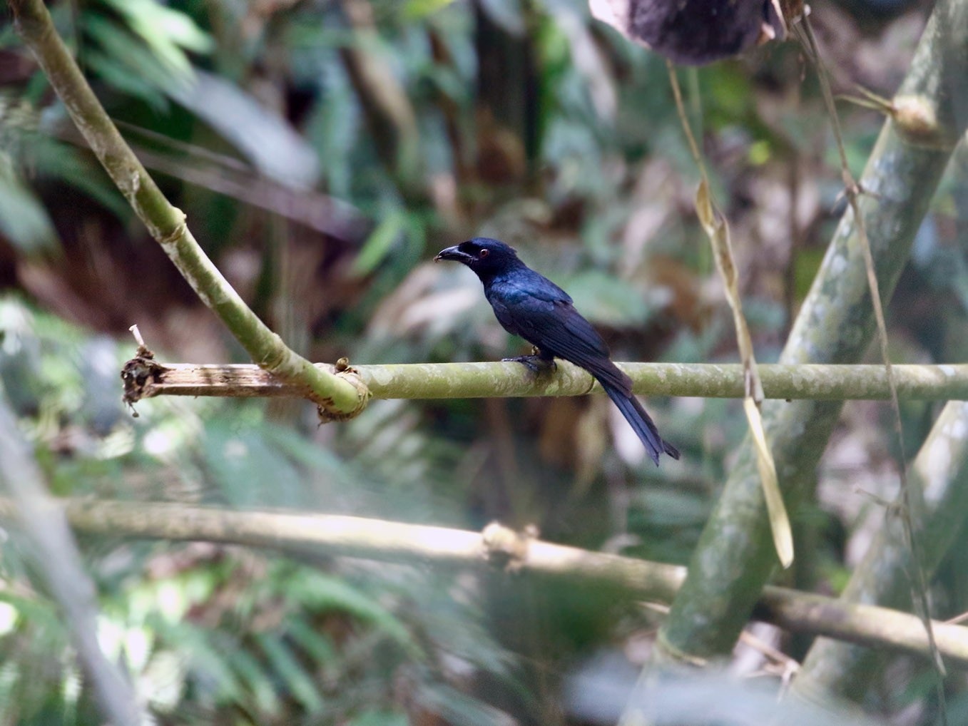 Crow-billed Drongo - Sam Woods