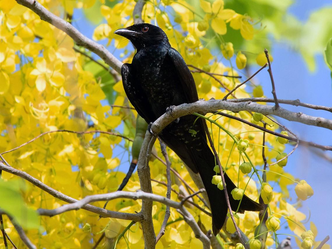 Crow-billed Drongo - Ayuwat Jearwattanakanok