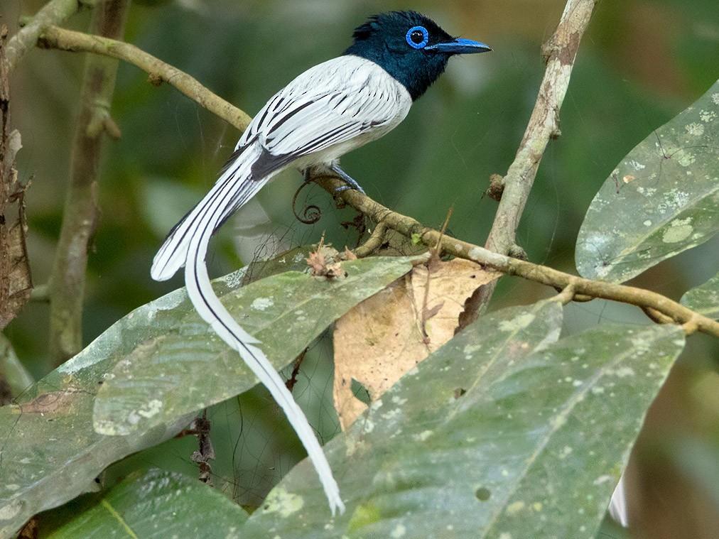 Blyth's Paradise-Flycatcher - Ayuwat Jearwattanakanok