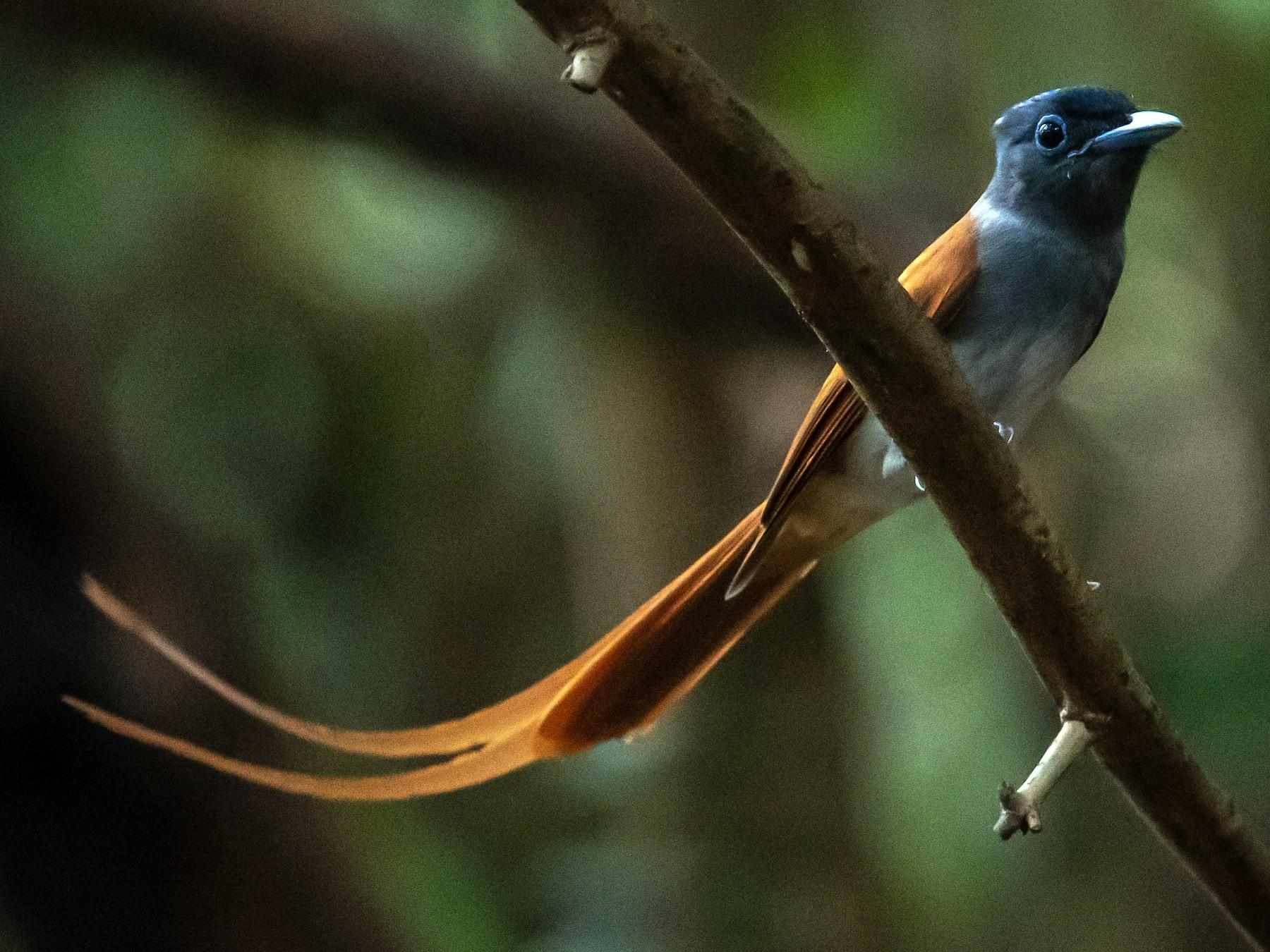 Blyth's Paradise-Flycatcher - Pattaraporn Vangtal