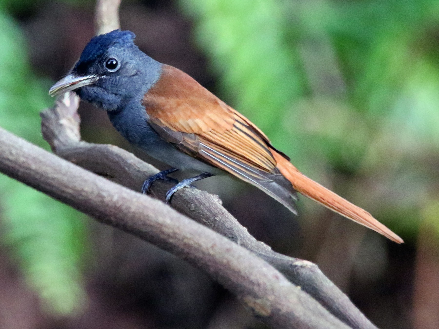 Blyth's Paradise-Flycatcher - William Mahoney