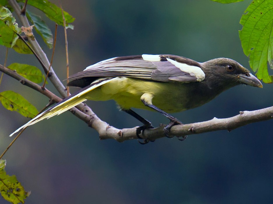 White-winged Magpie - Craig Brelsford