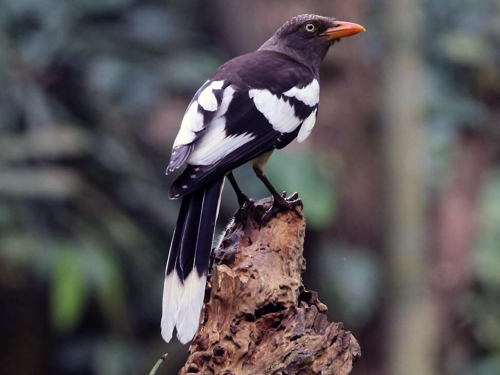 White-winged Magpie - Edmond Sham