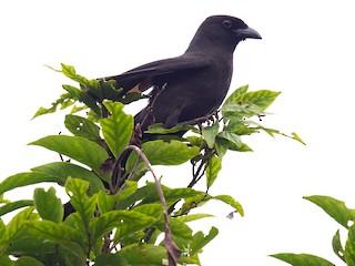 - Ratchet-tailed Treepie
