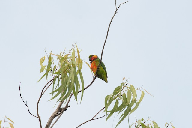 Edwards's Fig-Parrot
