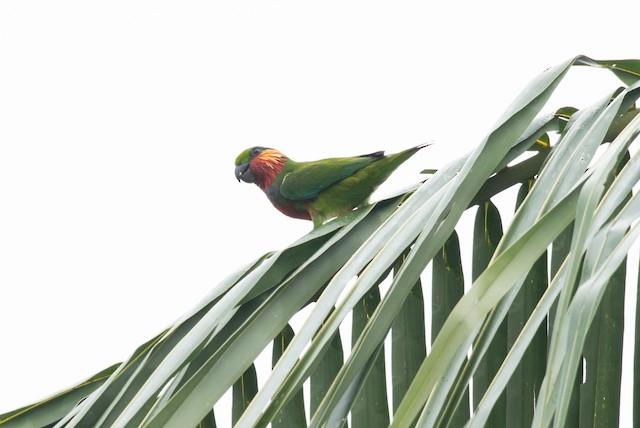 Edwards's Fig-Parrot
