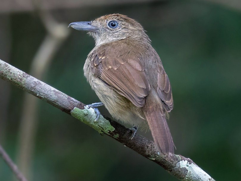 Mouse-colored Antshrike - Alexandre Gualhanone