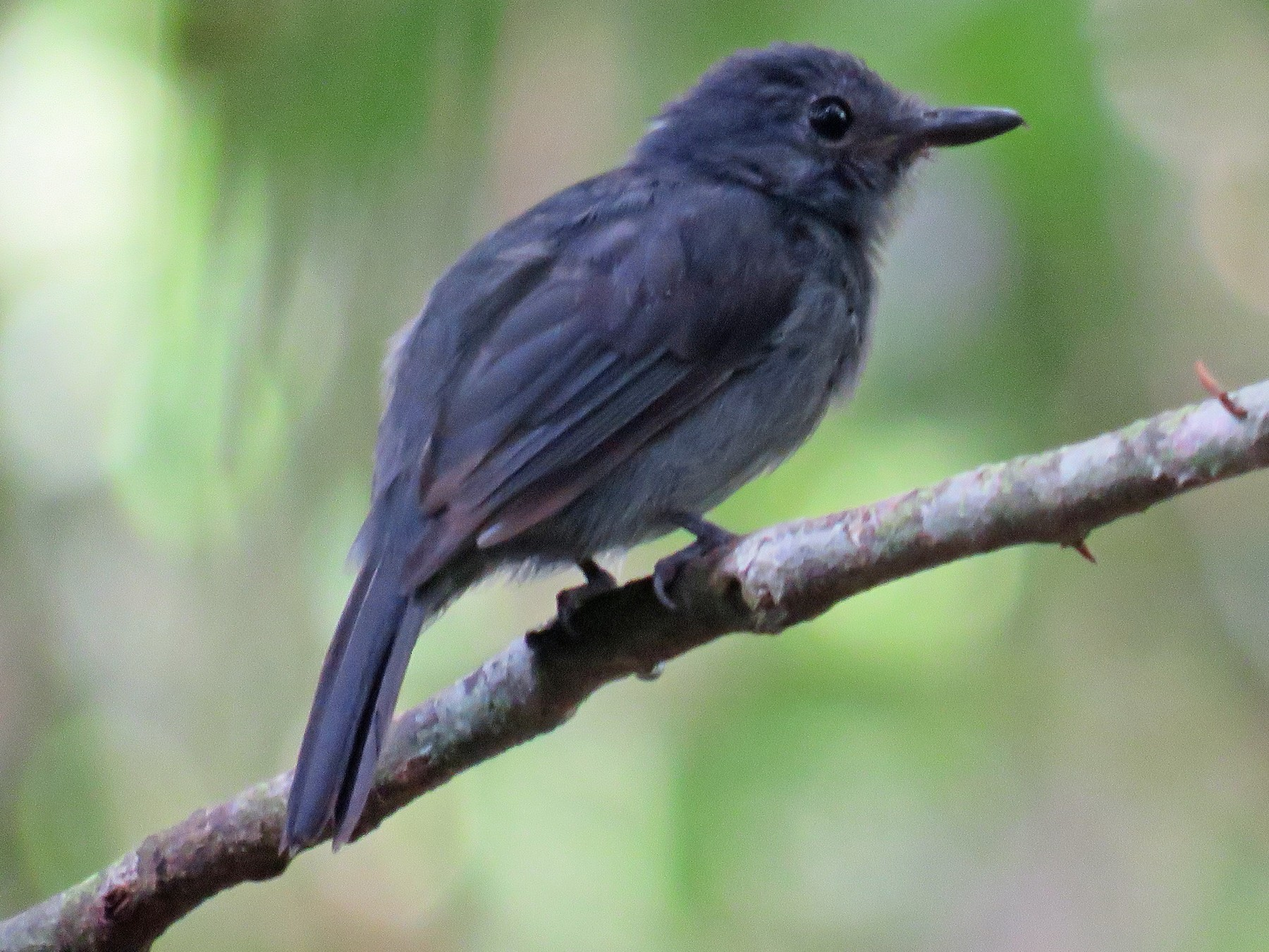 Cinereous Antshrike - Anonymous eBirder