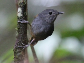 - Rufous-bellied Antwren