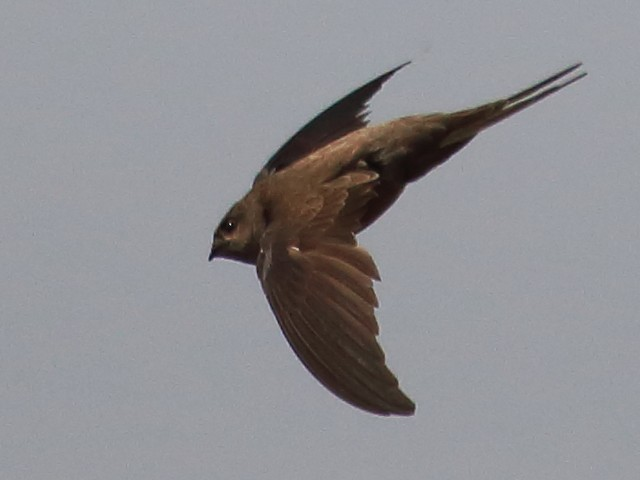 Asian Palm-Swift