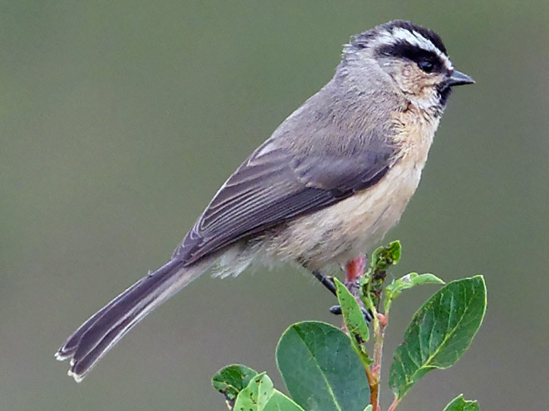 White-browed Tit - Vincent Wang