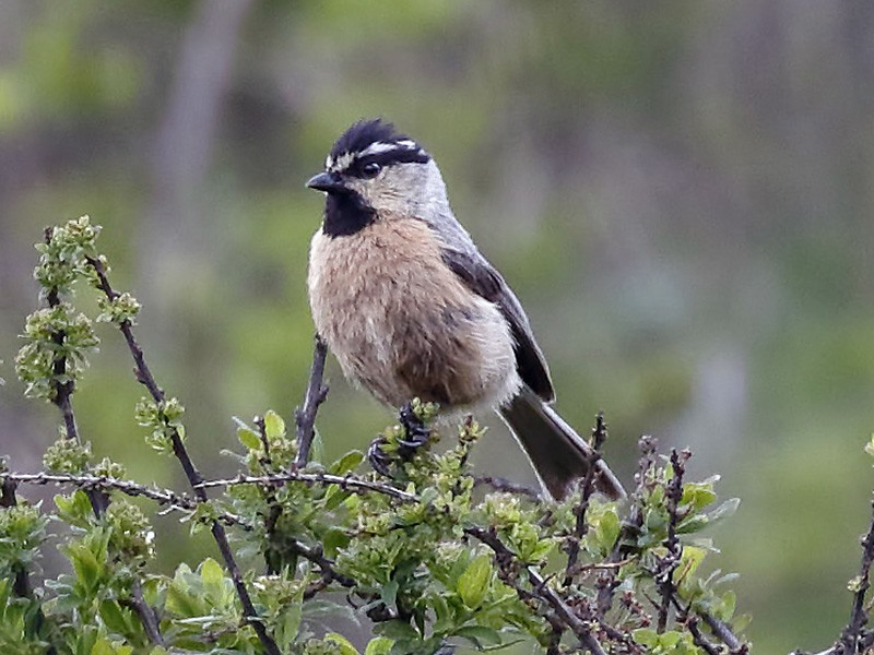 White-browed Tit - Dave Curtis