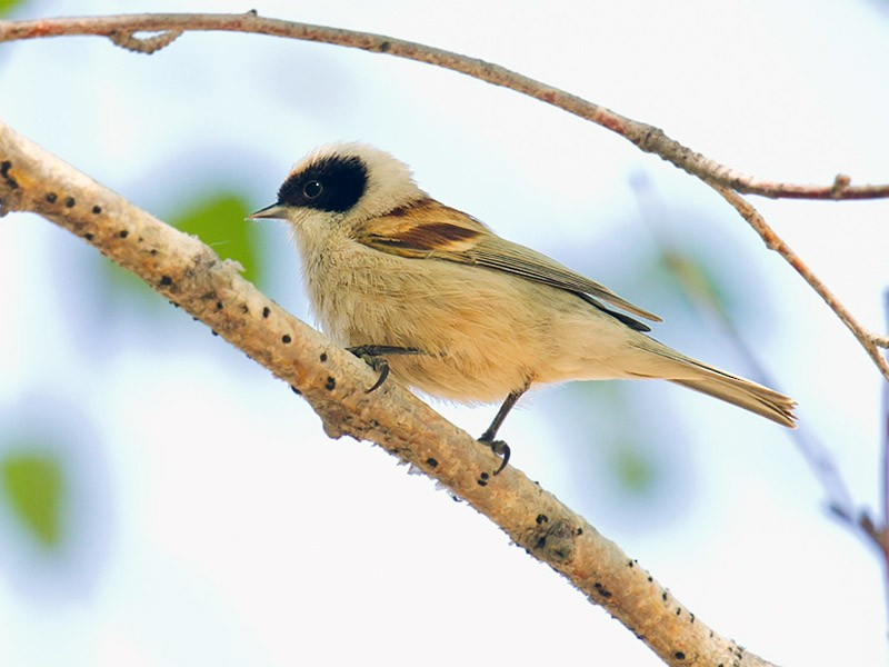 White-crowned Penduline-Tit - Craig Brelsford