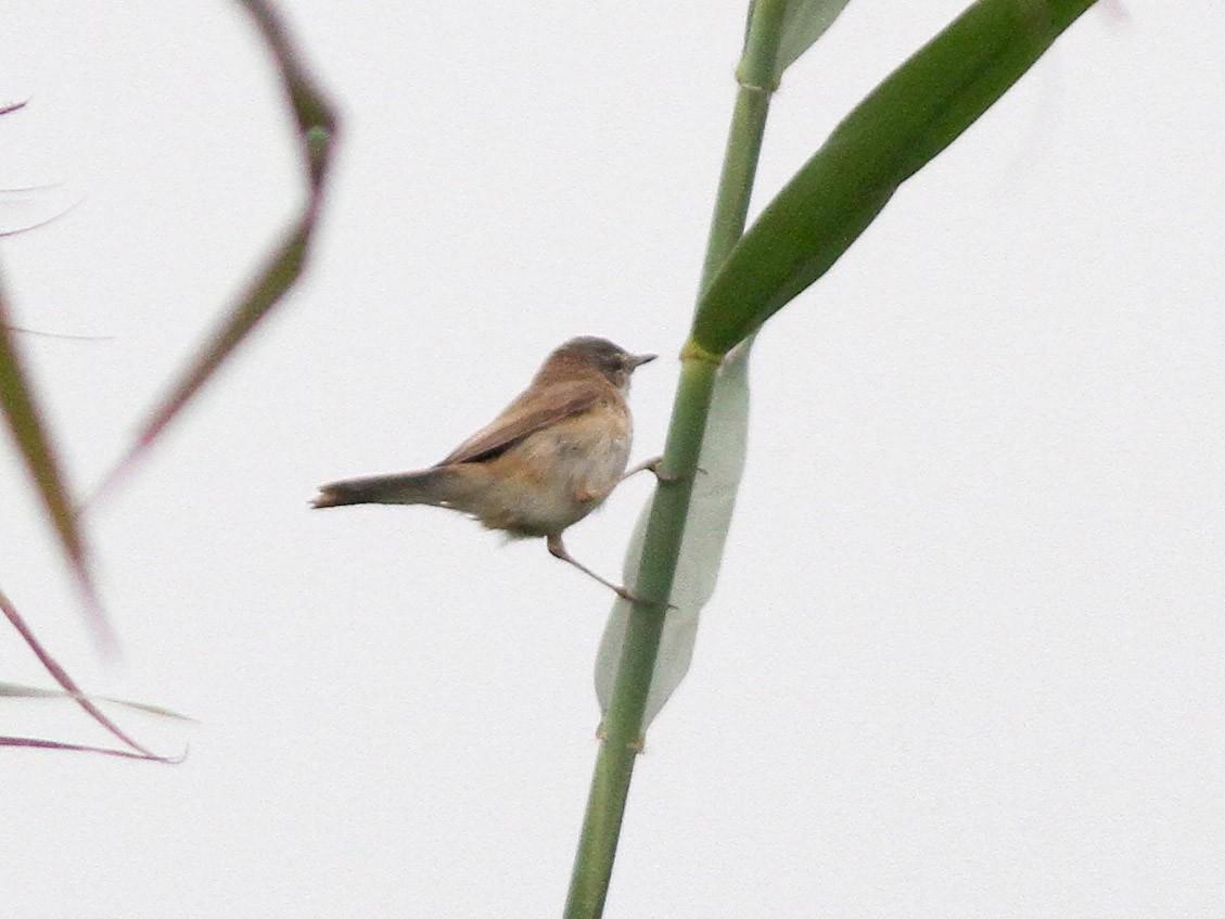 Blunt-winged Warbler - John Martin