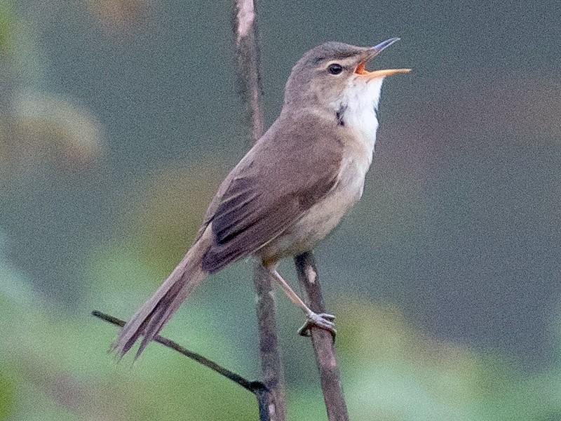 Blunt-winged Warbler - James Kennerley 🦄