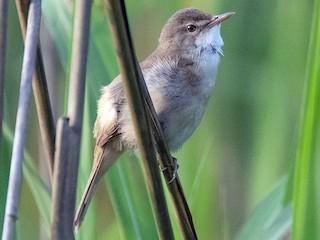 - Blunt-winged Warbler