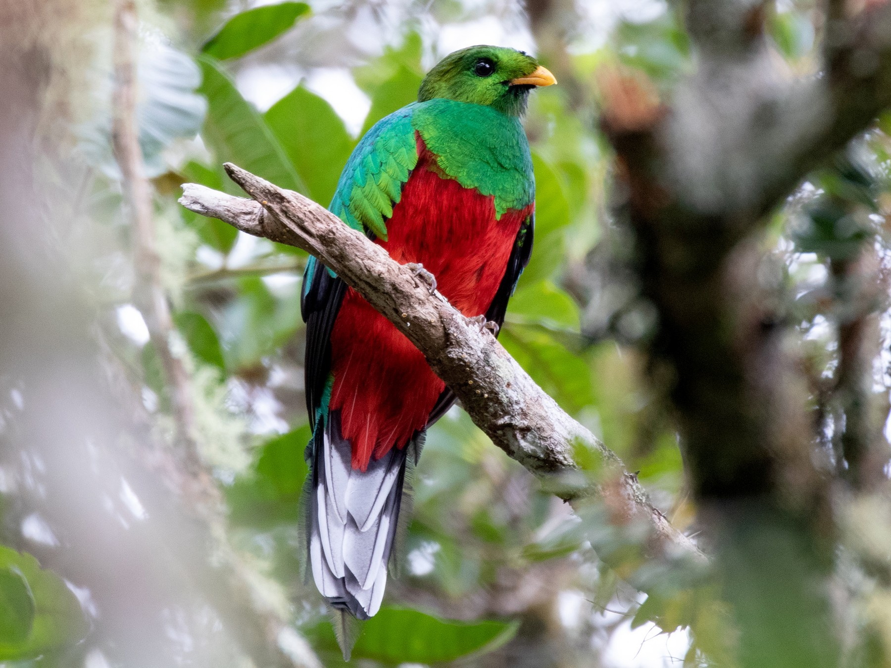 White-tipped Quetzal - Cullen Hanks