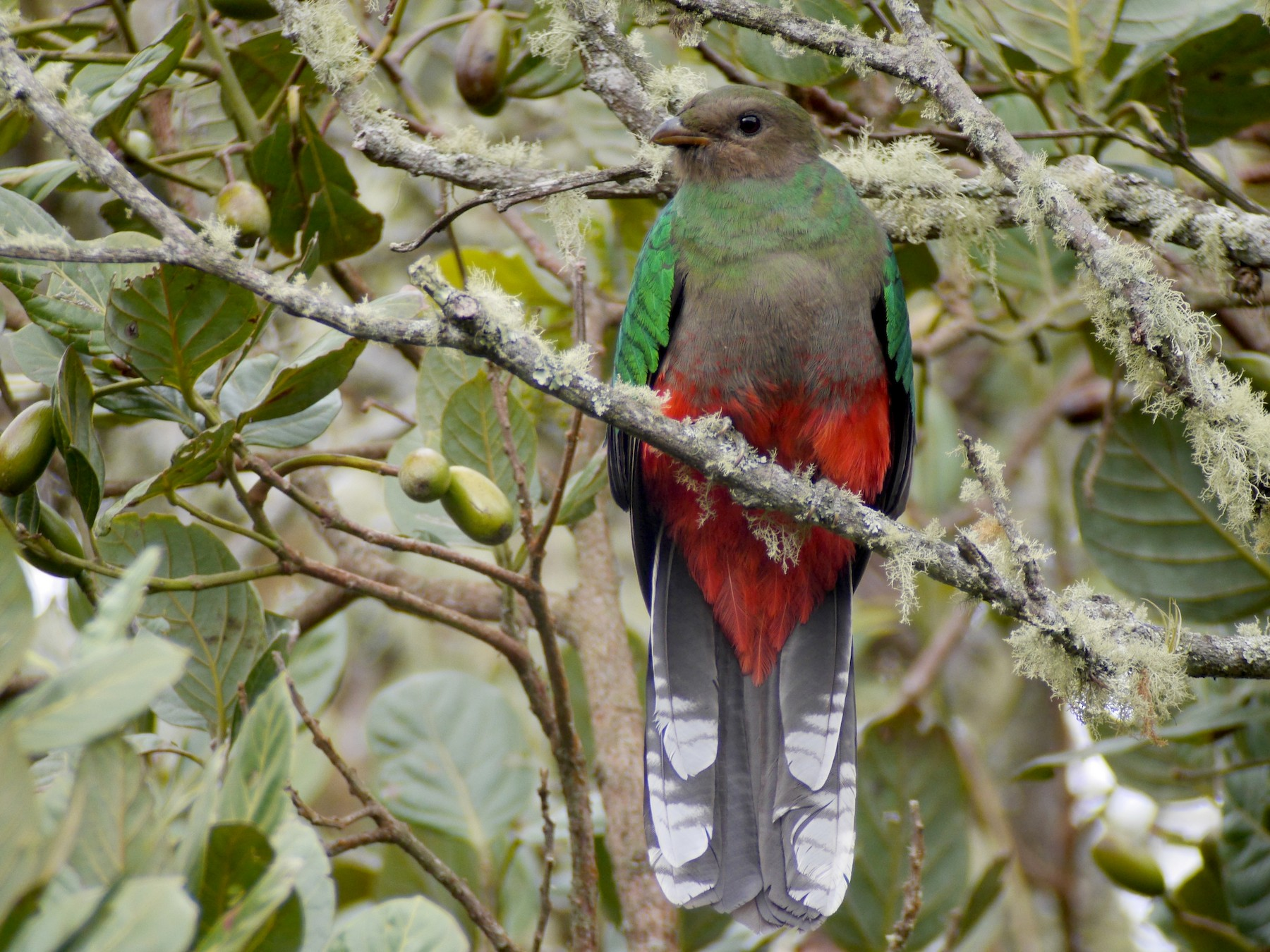 White-tipped Quetzal - Mike Grant