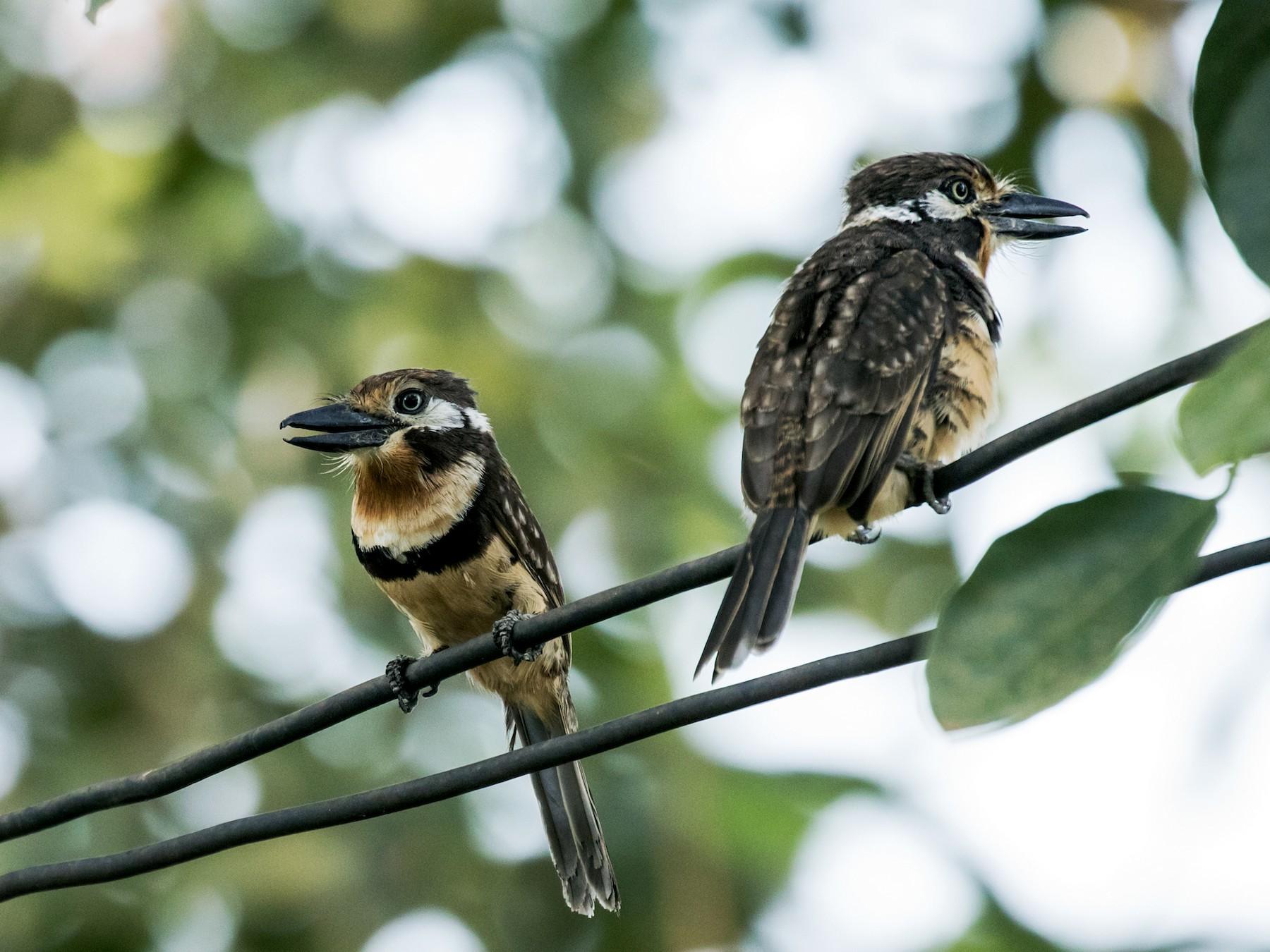Russet-throated Puffbird - Nick Athanas