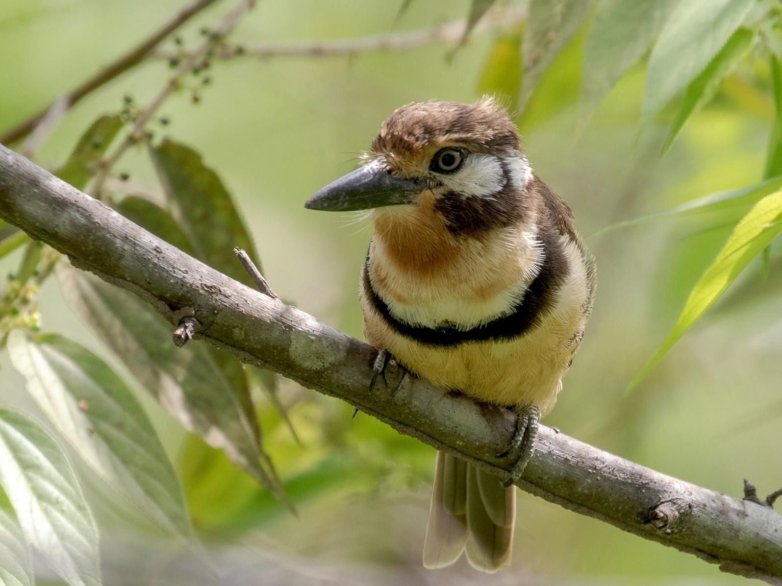 Russet-throated Puffbird - Drew Weber