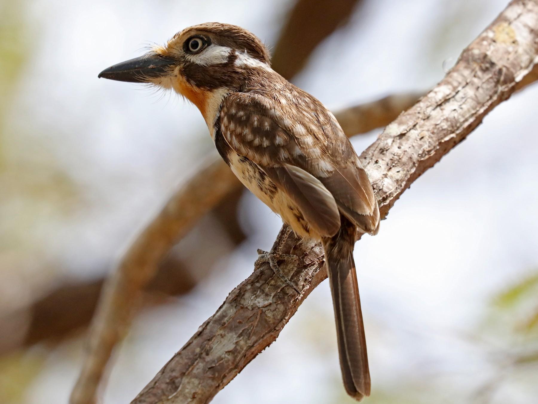 Russet-throated Puffbird - John Bruin