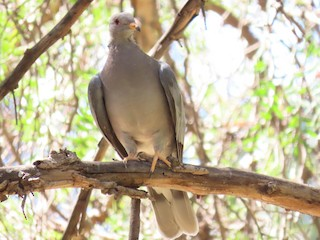 Band-tailed Pigeon, ML178082071