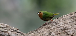 - Tawny-breasted Parrotfinch