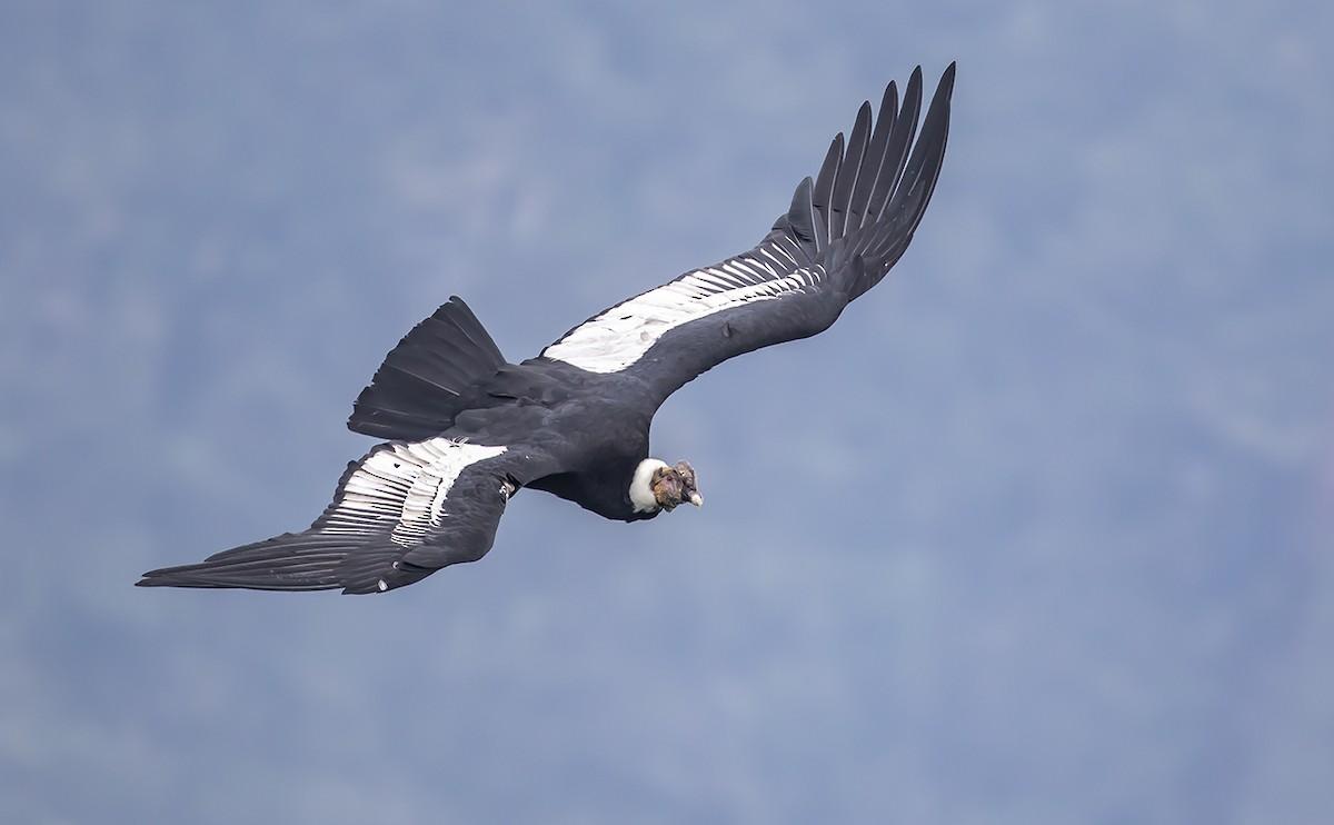 Andean Condor ML178171231