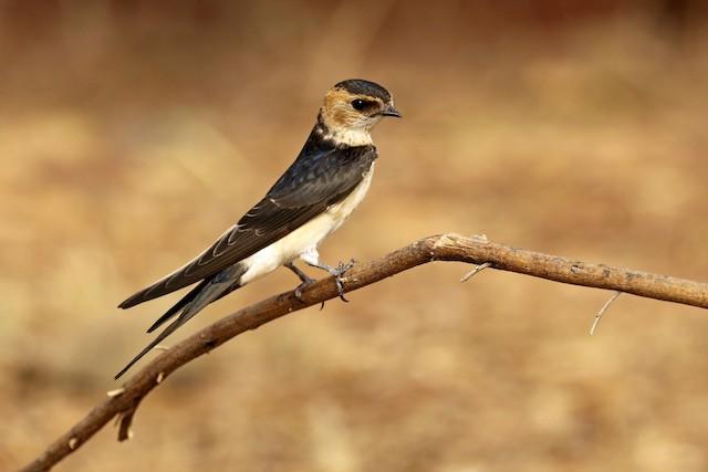 ©Francisco Barroqueiro - Red-rumped Swallow