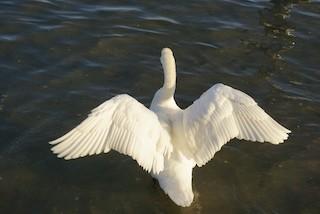 Mute Swan, ML178387631