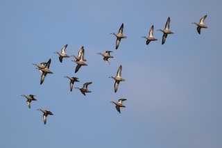Blue-winged Teal, ML178400001