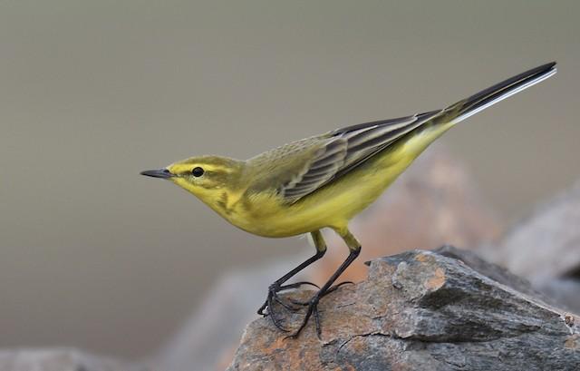 Western Yellow Wagtail (flavissima)