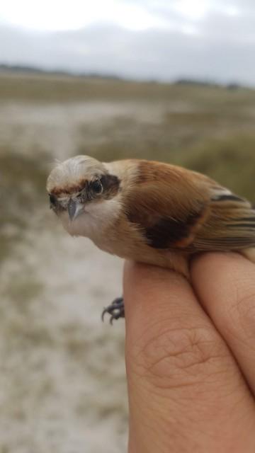 Eurasian Penduline-Tit