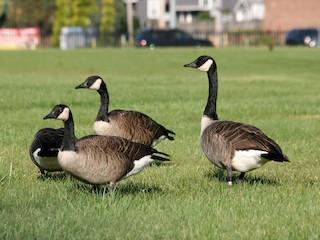 Canada Goose, ML178690461