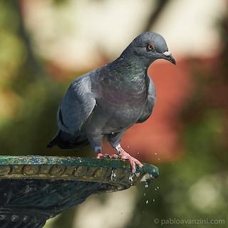 Rock Pigeon, ML178703151