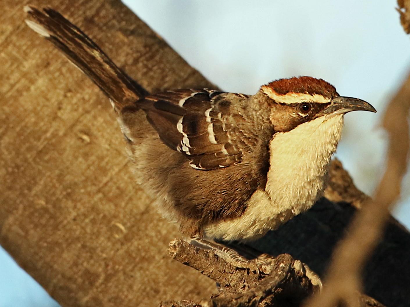 Chestnut-crowned Babbler - Luke Seitz