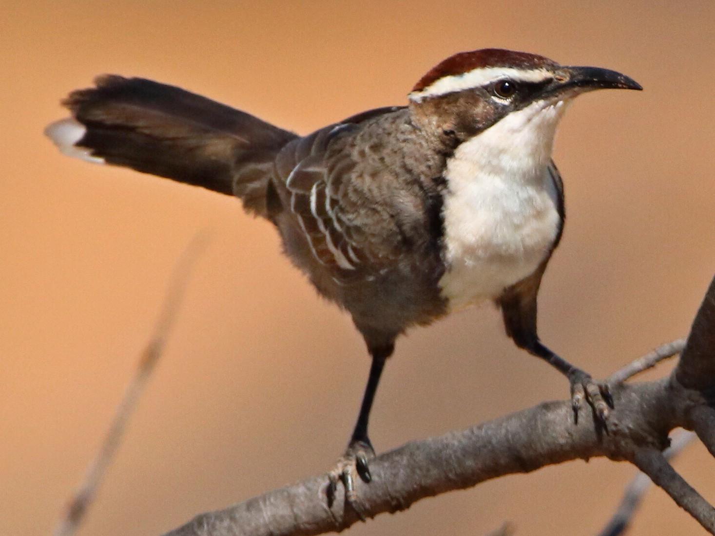 Chestnut-crowned Babbler - Indra Bone