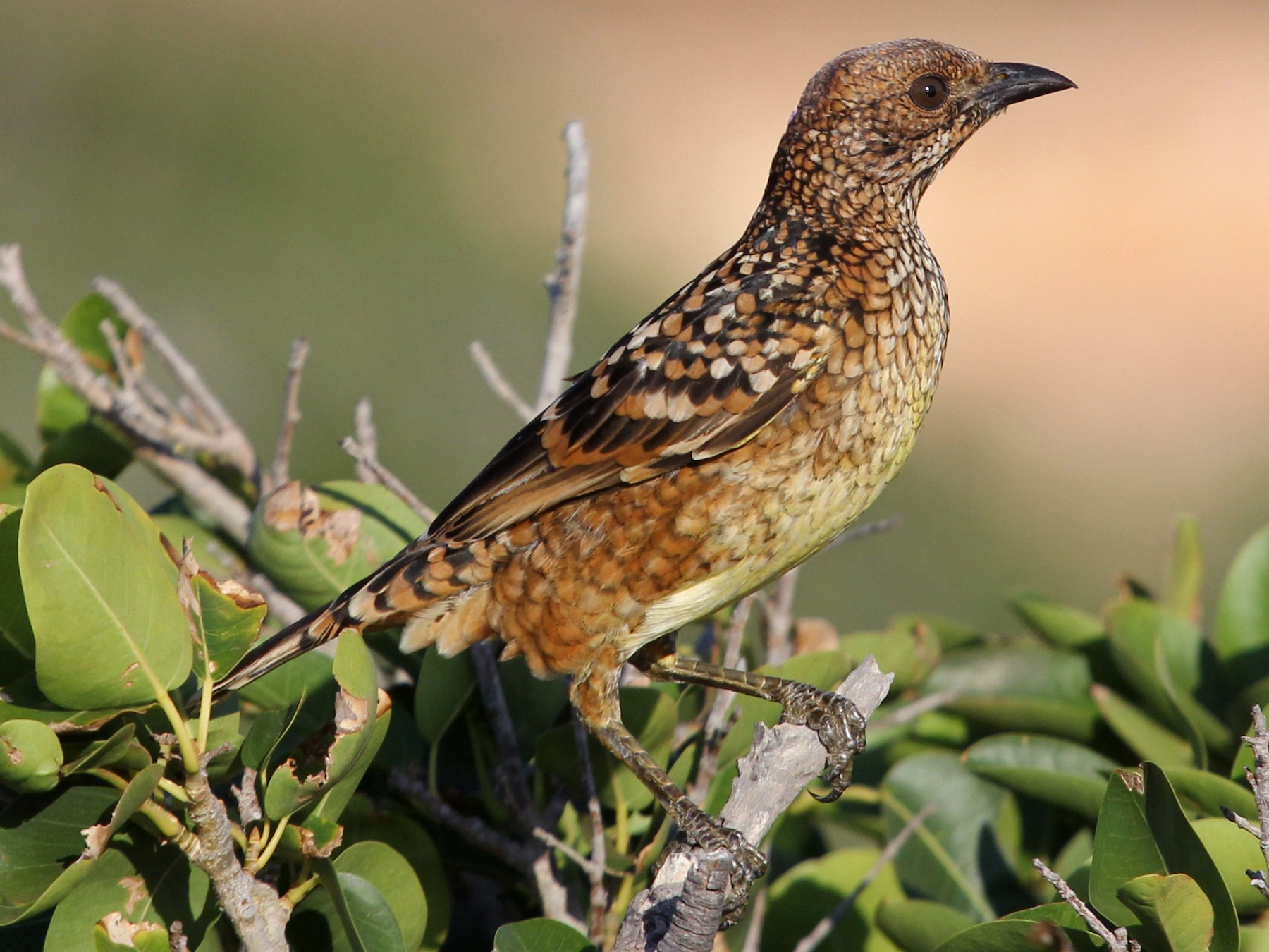 Western Bowerbird - Ray Turnbull